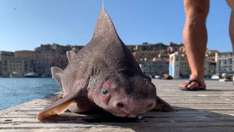 tiburon cerdo