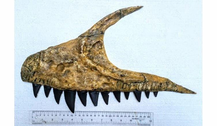 Mandíbula Fosilizada Perteneciente Al Dinosaurio Descubierto
