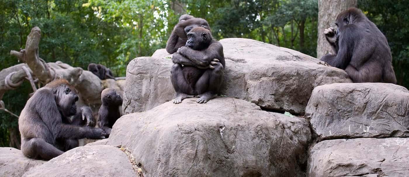 Un grupo de gorilas resultaron ser positivos de COVID-19 en el Zoológico de Atlanta, Estados Unidos