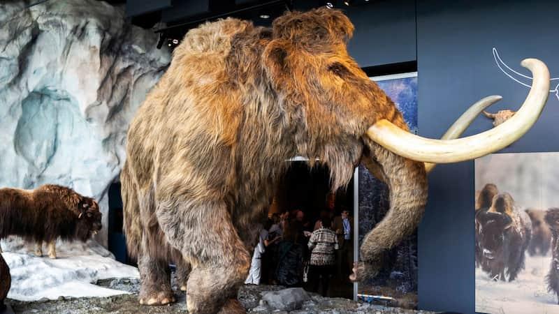 Mamut Lanudo - Museo