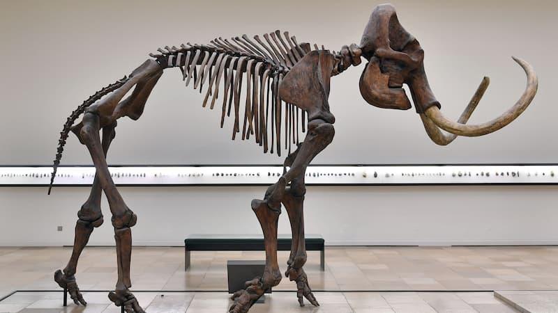 Esqueleto De Mamut Lanudo
