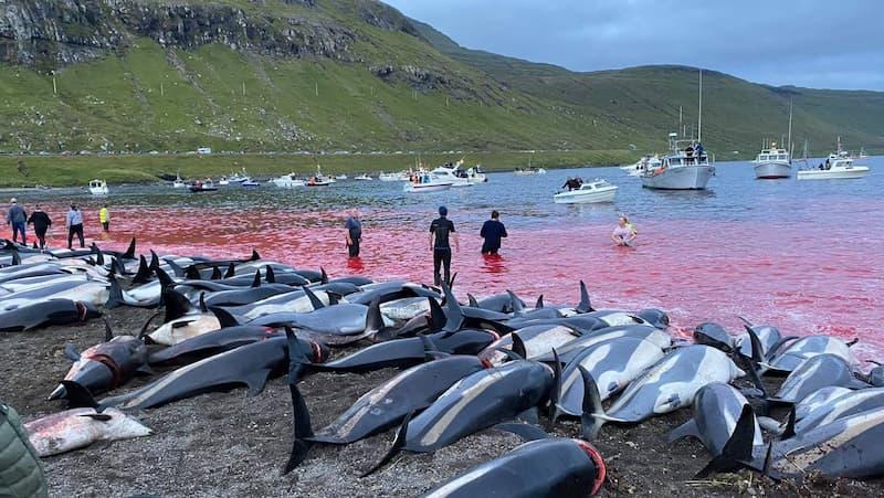 Delfines Masacrados En Las Islas Feroe