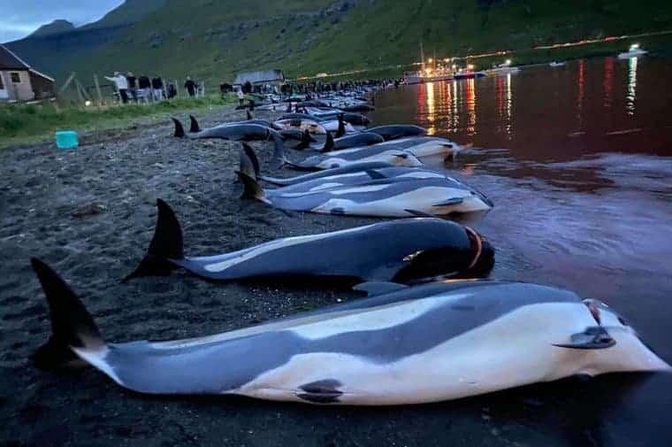Masacre De Delfines En Islas Feroe