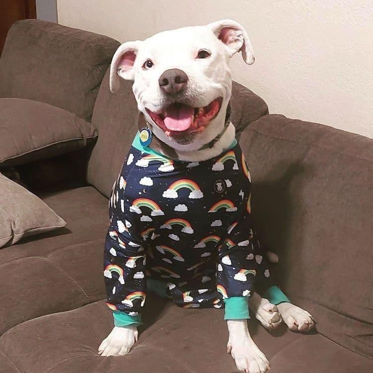 Diseñan Coloridos Pijamas Para Perros Para Erradicar El Estigma Contra Los Pitbulls