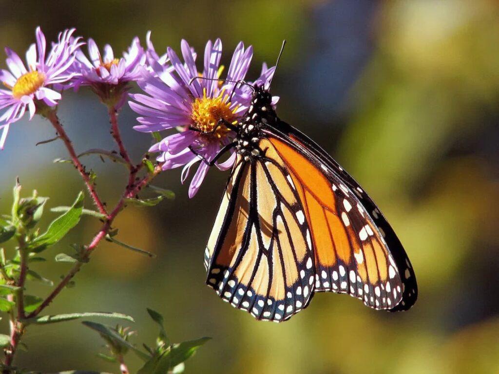 En Los Últimos 20 Años, La Población De La Mariposa Monarca En Norteamérica Ha Disminuido Un 80%, Según El Servicio De Pesca Y Fauna Silvestre De Los Estados Unidos.