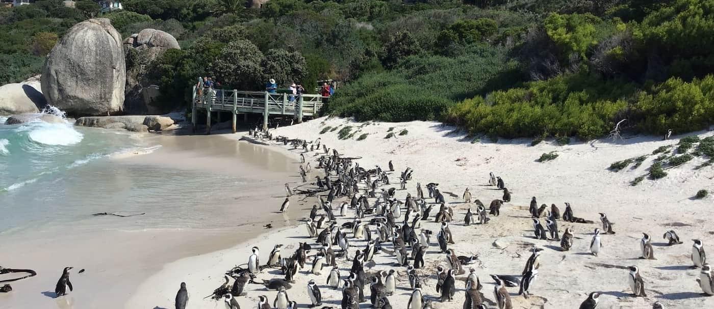 Más de 60 pingüinos africanos en peligro de extinción fallecieron por picaduras de abejas