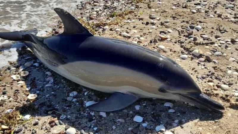 35 Delfines Fallecieron En El Sur Argentino