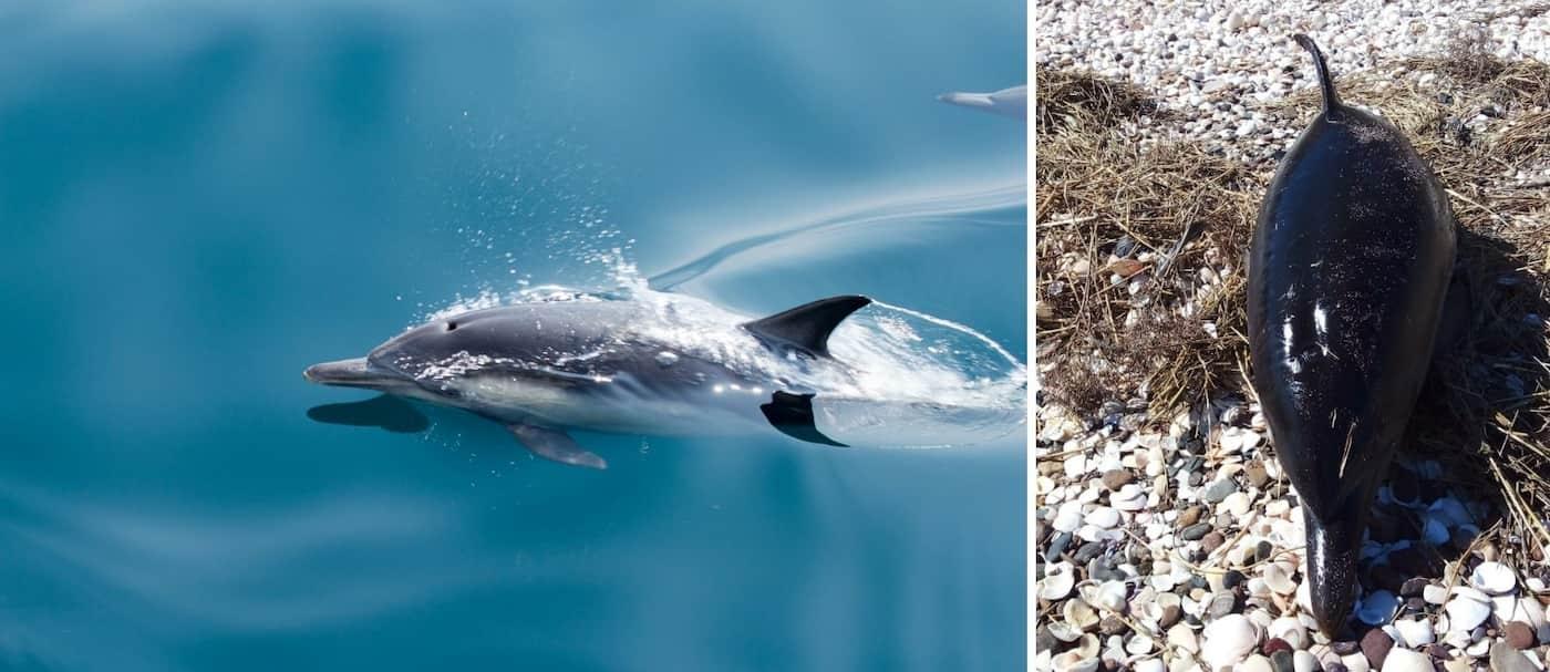 35 delfines fallecieron en el sur argentino y se cree que fue a causa del estrés