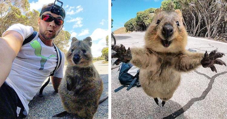 Quokka selfie australia1